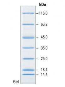 Unstained Protein MW Marker