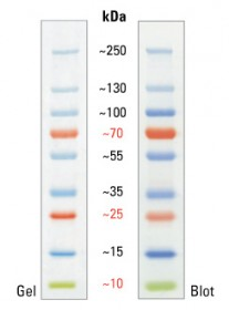 PageRuler Plus Prestained Protein Ladder