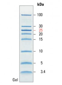 PageRuler Low Range Unstained Protein Ladder
