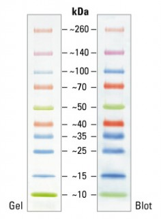 Spectra Multicolor Broad Range Protein Ladder