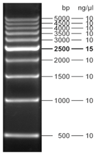 Fluorescent 500 bp DNA Ladder 500 µl (105 ng/µl)