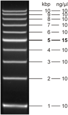 Fluorescent 1 kb DNA Ladder 500 µl (105 ng/µl)