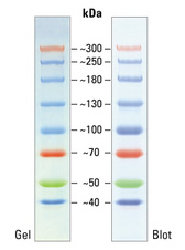 Spectra Multicolor High Range Protein Ladder